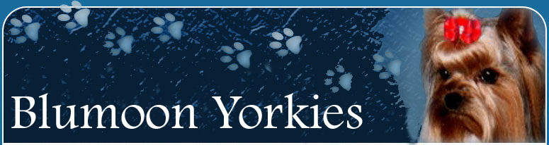Breeders of Yorkies, Yorkie puppies, AKC Champion Yorkies and beautiful Pet yorkies, Breeder Exhibitor of Blumoon Yorkies.