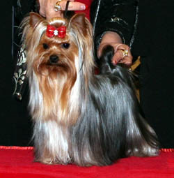 AKC Yorkies, Yorkshire Terriers, Champion Yorkie males