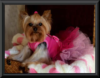 Yorkie puppies for sale AKC Blumoon Yorkies Yorkie puppies